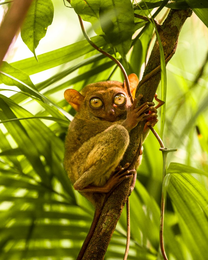 Bohol Tarsier am Baum- Philippines Department of Tourism ©Jacob Riglin