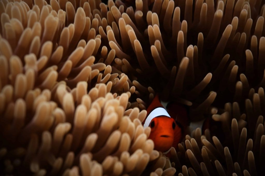 Nemo in Anemone ©Desmond-williams via Unsplash